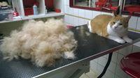 Ook kortharige katten gaan naar de trimsalon